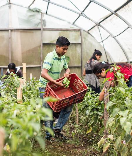 Young man picking bell peppers inside a greenhouse.